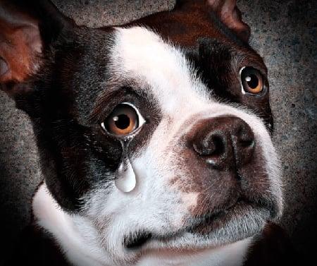 perro llorando