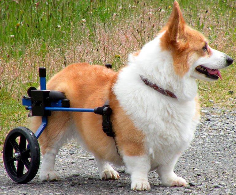 Corgi-usando-una-silla-de-ruedas