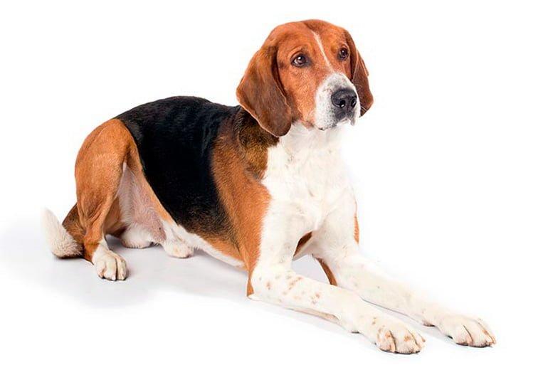 Foxhound-americano