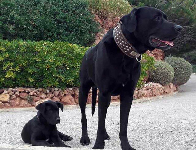 Pastor-mallorquín-con-cachorro