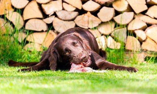 perro alimentado con BARF