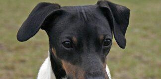 cabeza-de-un-terrier-japonés