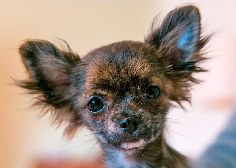 "chihuahua-puppy ""width ="" 770 ""height ="" 548 ""srcset ="" https://soyunperro.com/wp-content/uploads/2019/09/cachorro-de-chihuahua.jpg 770w, https: // soyunperro.com/wp-content/uploads/2019/09/cachorro-de-chihuahua-300x214.jpg 300w, https://soyunperro.com/wp-content/uploads/2019/09/cachorro-de-chihuahua-768x547 .jpg 768w, https://soyunperro.com/wp-content/uploads/2019/09/cachorro-de-chihuahua-100x70.jpg 100w, https://soyunperro.com/wp-content/uploads/2019/09 /cachorro-de-chihuahua-696x495.jpg 696w, https://soyunperro.com/wp-content/uploads/2019/09/cachorro-de-chihuahua-590x420.jpg 590w ""tailles ="" (largeur maximale: 770px) ) 100vw, 770px"