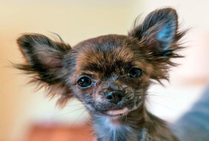 cachorro-de-raza-pequeña