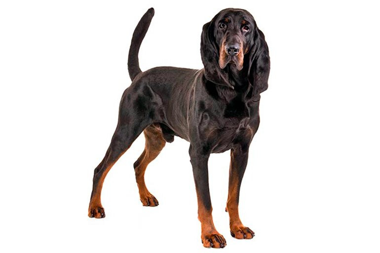 caracteristicas-de-un-Black-and-Tan-Coonhound