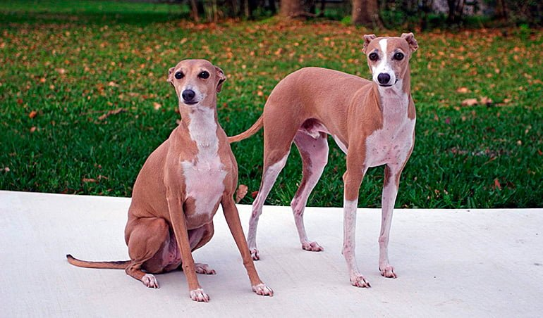 pareja-de-galgos-italianos-de-color-marron-y-blanco