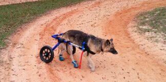 pastor-alemán-con-silla-de-ruedas