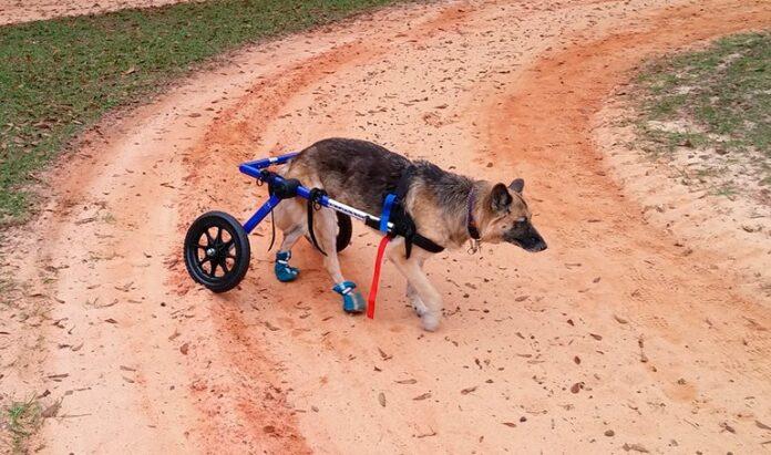 Berger allemand avec fauteuil roulant