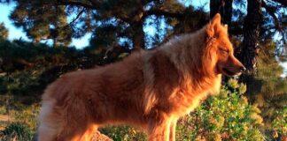 pastor-garafiano-en-la-montaña