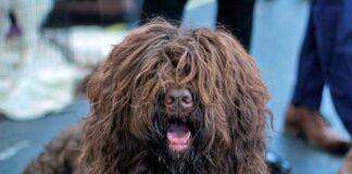 perro-barbet