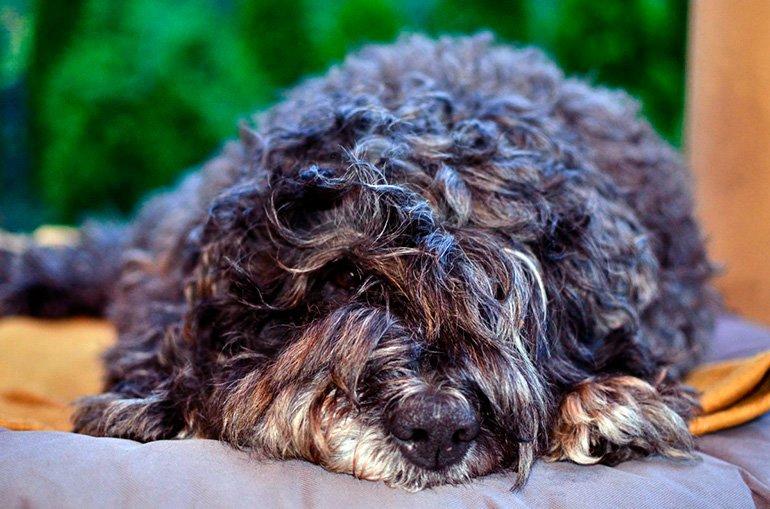 perro-barbet-tumbado