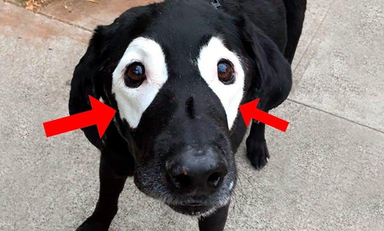 """chien avec dépigmentation autour des yeux """"width ="""" 770 """"height ="""" 463 """"srcset ="""" https://soyunperro.com/wp-content/uploads/2019/09/perro-con-despigmentation -alrededor-de-los-ojos.jpg 770w, https://soyunperro.com/wp-content/uploads/2019/09/perro-con-despigmentación-alrededor-de-los-ojos-300x180.jpg 300w, https : //soyunperro.com/wp-content/uploads/2019/09/perro-con-despigmentación-alredededde-los-ojos-768x462.jpg 768w, https://soyunperro.com/wp-content/uploads/ 2019/09 / dog-with-depigmentation-around-the-eyes-696x419.jpg 696w, https://soyunperro.com/wp-content/uploads/2019/09/perro-con-despigmentación-alredededor-de -los-ojos-698x420.jpg 698w """"tailles ="""" (largeur maximale: 770 pixels) 100vw, 770 pixels"""