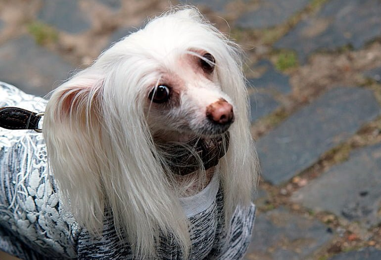 "chien avec longs cheveux raides ""width ="" 770 ""height ="" 526 ""srcset ="" https://soyunperro.com/wp-content/uploads/2019/09/perro-con-el -pelo-largo-y-liso.jpg 770w, https://soyunperro.com/wp-content/uploads/2019/09/perro-con-el-pelo-largo-y-liso-300x205.jpg 300w, https : //soyunperro.com/wp-content/uploads/2019/09/perro-con-el-pelo-largo-y-liso-768x525.jpg 768w, https://soyunperro.com/wp-content/uploads/ 2019/09 / dog-with-long-hair-and-straight-218x150.jpg 218w, https://soyunperro.com/wp-content/uploads/2019/09/perro-con-el-pelo-largo -y-liso-696x475.jpg 696w, https://soyunperro.com/wp-content/uploads/2019/09/perro-con-el-pelo-largo-y-liso-615x420.jpg 615w ""tailles ="" (largeur maximum: 770px) 100vw, 770px"