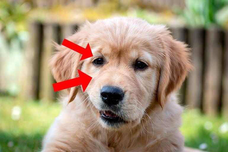 perro-con-síndrome-de-horner