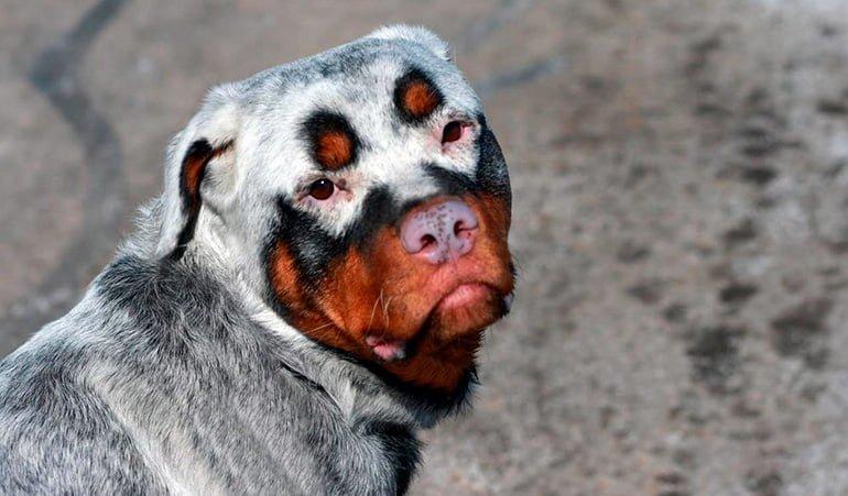 perro-con-vitíligo