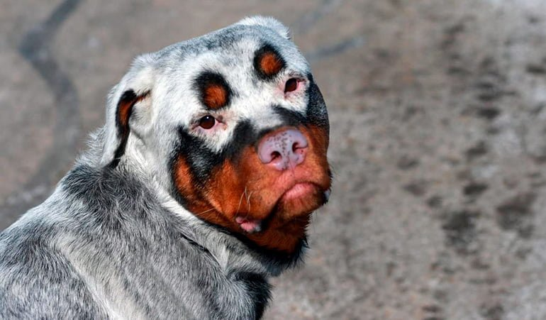 "dog-with-vitiligo ""width ="" 770 ""height ="" 451 ""srcset ="" https://soyunperro.com/wp-content/uploads/2019/09/perro-con-vitíligo.jpg 770w, https: // soyunperro.com/wp-content/uploads/2019/09/perro-con-vitíligo-300x176.jpg 300w, https://soyunperro.com/wp-content/uploads/2019/09/perro-con-vitíligo-768x450 .jpg 768w, https://soyunperro.com/wp-content/uploads/2019/09/perro-con-vitíligo-696x408.jpg 696w, https://soyunperro.com/wp-content/uploads/2019/09 /perro-con-vitíligo-717x420.jpg 717w ""tailles ="" (largeur maximale: 770px) 100vw, 770px"