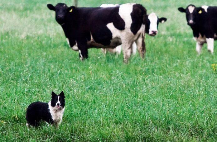 perro-pastor-junto-al-ganado