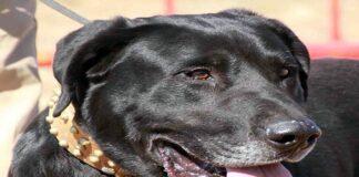 perro-pastor-mallorquín