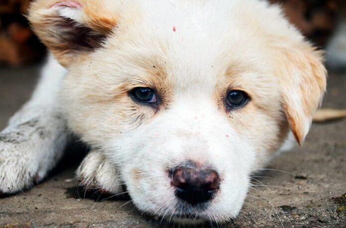 chien sale avec des parasites