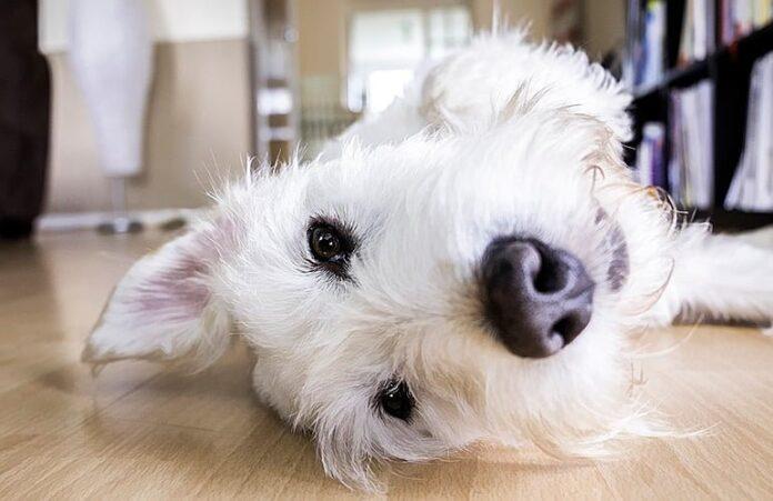 perro-tumbado-en-el-seulo-esperando-cosquillas