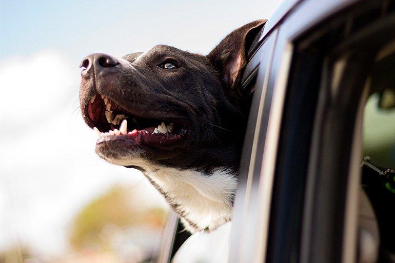 perro-viajando-en-coche-con-la-cabeza-sacada-por-la-ventanilla