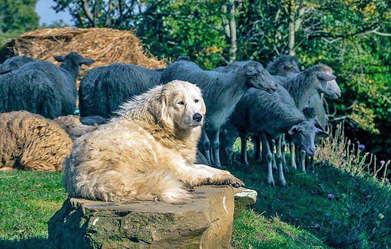 perro-vigilando-el-ganado