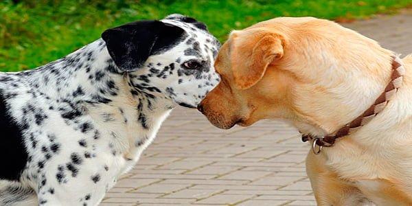 perros con orejas levantadas