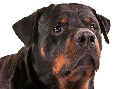 perro potencialmente peligroso