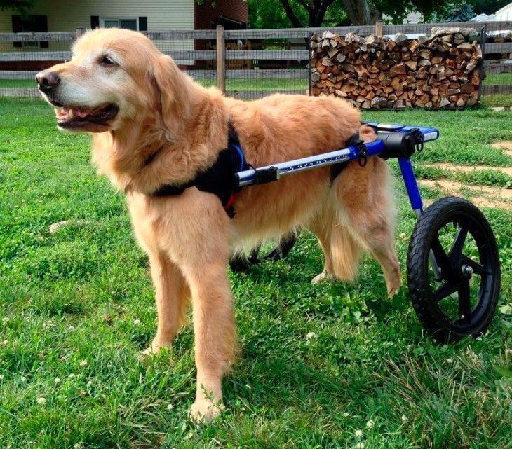 retriever-con-displasia-usa-silla-de-ruedas
