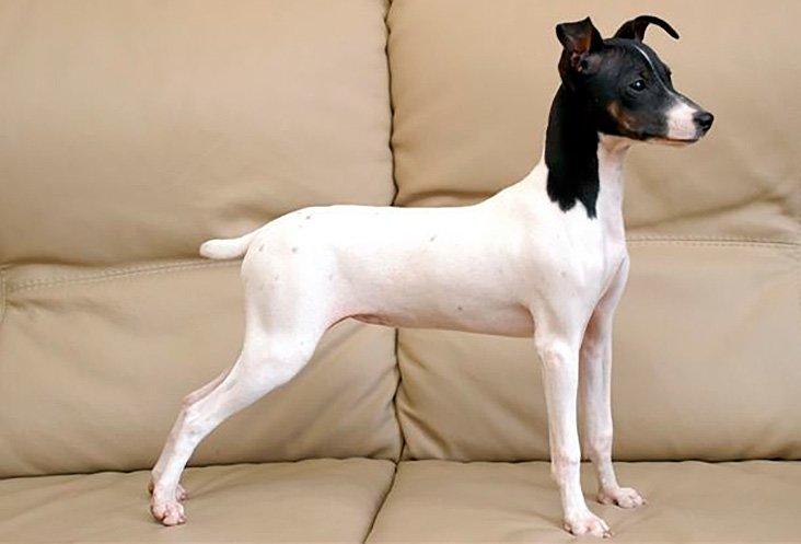terrier-japonés