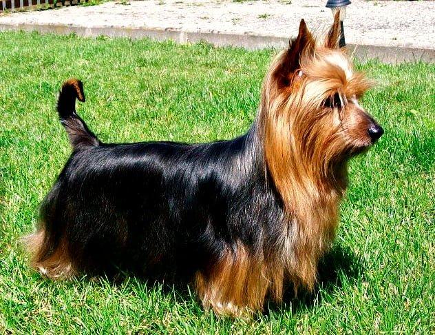 Australian-silky-terrier