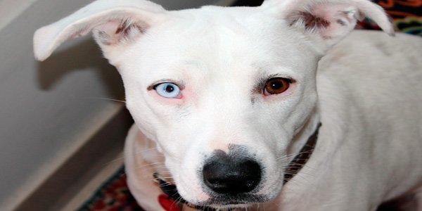 Heterocromía canina