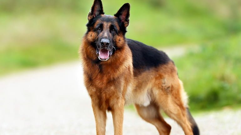 "German-Shepherd-waiting-for-an-order ""width ="" 770 ""height ="" 432 ""srcset ="" https://soyunperro.com/wp-content/uploads/2019/10/Pastor-Allemand-esperando-una-orden .jpg 770w, https://soyunperro.com/wp-content/uploads/2019/10/Pastor-German-esperando-una-orden-300x168.jpg 300w, https://soyunperro.com/wp-content/uploads /2019/10/Pastor-Alemán-esperando-una-orden-768x431.jpg 768w, https://soyunperro.com/wp-content/uploads/2019/10/Pastor-Alemán-esperando-una-orden-696x390. jpg 696w, https://soyunperro.com/wp-content/uploads/2019/10/Pastor-German-esperando-una-orden-749x420.jpg 749w ""values ​​="" (largeur maximale: 770px) 100vw, 770px"