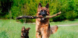 Pastor-alemán-junto-a-su-cachorro