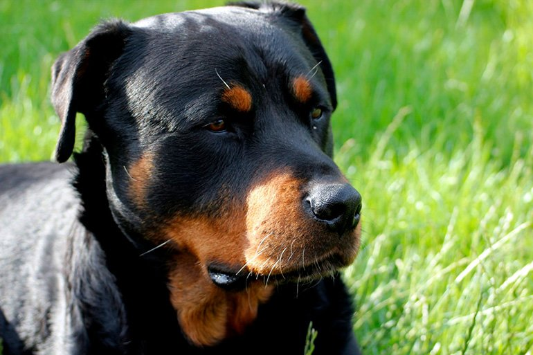Rottweiler-alemán
