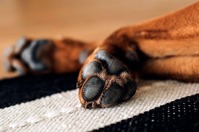 almohadillas-de-las-patas-de-un-perro