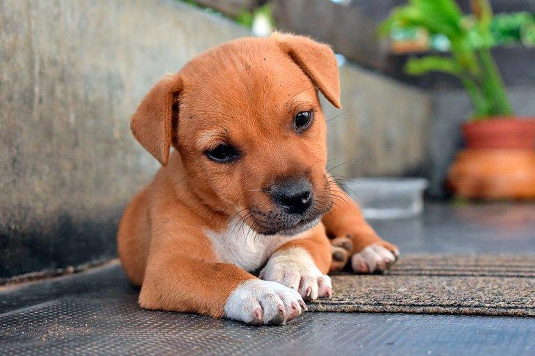 """chiot-chien-couché sur le porche """"width ="""" 770 """"height ="""" 513 """"srcset ="""" https://soyunperro.com/wp-content/uploads/2019/10/cachorrito-de-perro -tumbado-en-el-porche.jpg 770w, https://soyunperro.com/wp-content/uploads/2019/10/cachorrito-de-perro-tumbado-en-el-porche-300x200.jpg 300w, https : //soyunperro.com/wp-content/uploads/2019/10/cachorrito-de-perro-tumbado-en-el-porche-768x512.jpg 768w, https://soyunperro.com/wp-content/uploads/ 2019/10 / chiot-chien-couché-sur-le-porche-696x464.jpg 696w, https://soyunperro.com/wp-content/uploads/2019/10/cachorrito-de-perro-tumbado-en -el-porche-630x420.jpg 630w """"tailles ="""" (largeur maximale: 770 pixels) 100vw, 770 pixels"""