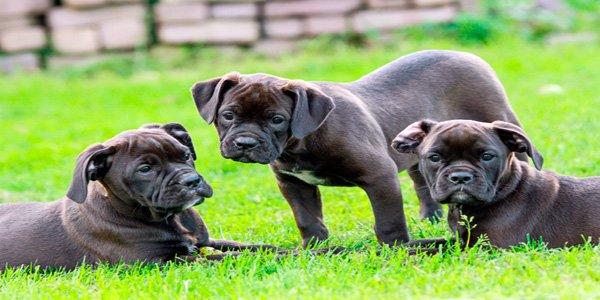 cachorros de razas grandes