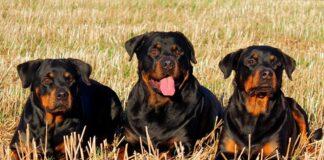 grupo-de-perros-de-raza-rottweiler