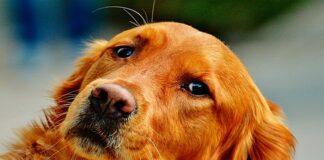 perro de raza setter