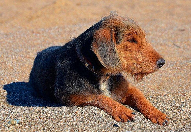 sintomas de pulgas en perros