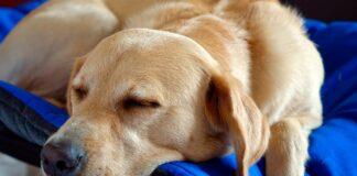 perro-descansando-en-su-cama