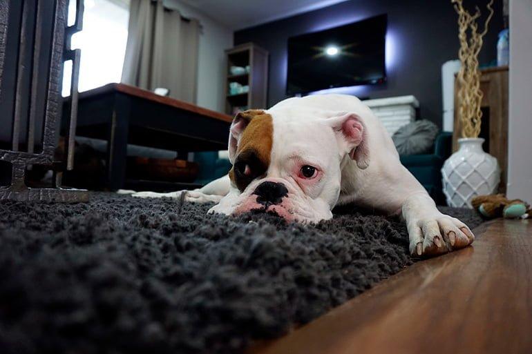 perro-desorientado-tras-un-ataque-de-epilepsia