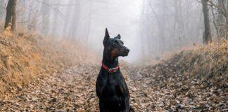 perro-doberman-en-el-bosque