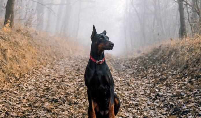 doberman-chien-dans-la-forêt