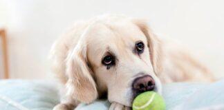perro-en-su-cama-guardando-una-pelota-pequeña