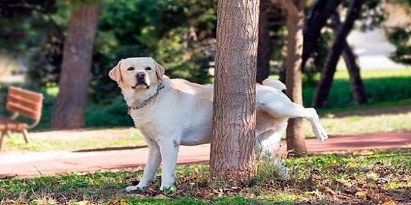 perro intentando orinar