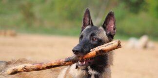 perro-moerdiendo-un-palo