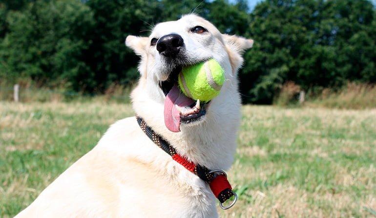 perro-mordiendo-una-pelota-de-tennis