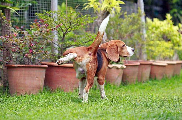 perro-orinando-en-el-patio